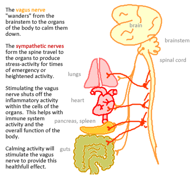 The Vagus Nerve Its Many Roles And Functions Insightful Nutrition